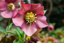 Lenten Hellebore Flower In Bloom In Winter