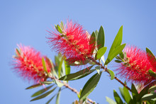 Callistemon Aka Bottlebrush