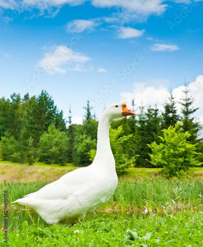 Fotografia, Obraz White goose on green grass
