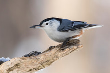 White Breasted Nuthatch In Win...
