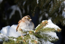 White-throated Sparrow (Zonotr...