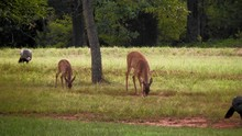 Spotted Fawn Mother White Tail Deer And Wild Turkeys