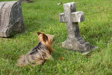 Aging Yorkshire Terrier Lying Down In Cemetery Guarding Child Grave Marked With Stone Cross