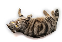 Handsome Black Silver Tabby British Shorthair Cat Laying Down Hanging Over Edge Isolated On White Background