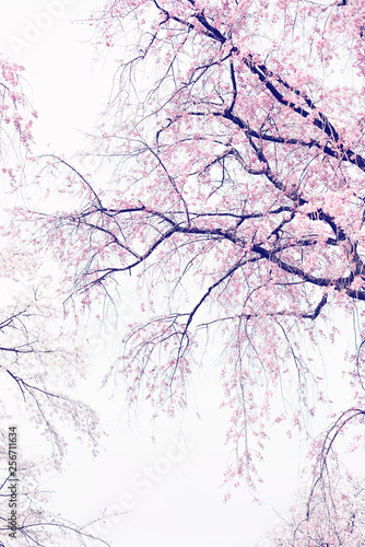 kwiaty-drzewa-wisni-na-bialym-tle