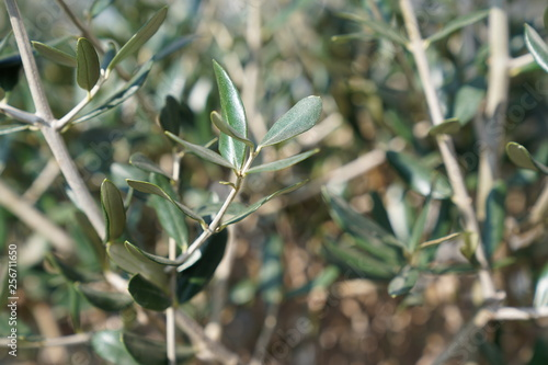 Printed kitchen splashbacks Olive tree olijf boom blad