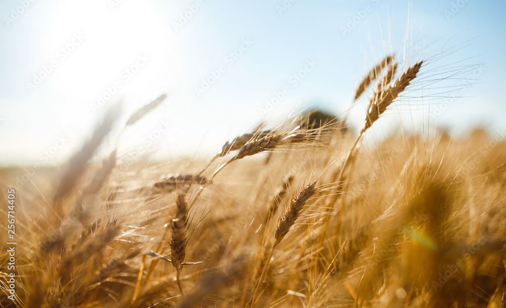 Fototapeta Amazing agriculture sunset landscape.Growth nature harvest. Wheat field natural product. Ears of golden wheat close up. Rural scene under sunlight. Summer background of ripening ears of landscape.