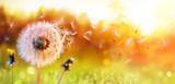 Fototapeta Kwiaty - Dandelion In Field At Sunset - Freedom to Wish