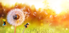 Dandelion In Field At Sunset -...