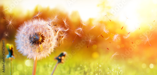 Spoed Foto op Canvas Paardenbloem Dandelion In Field At Sunset - Freedom to Wish