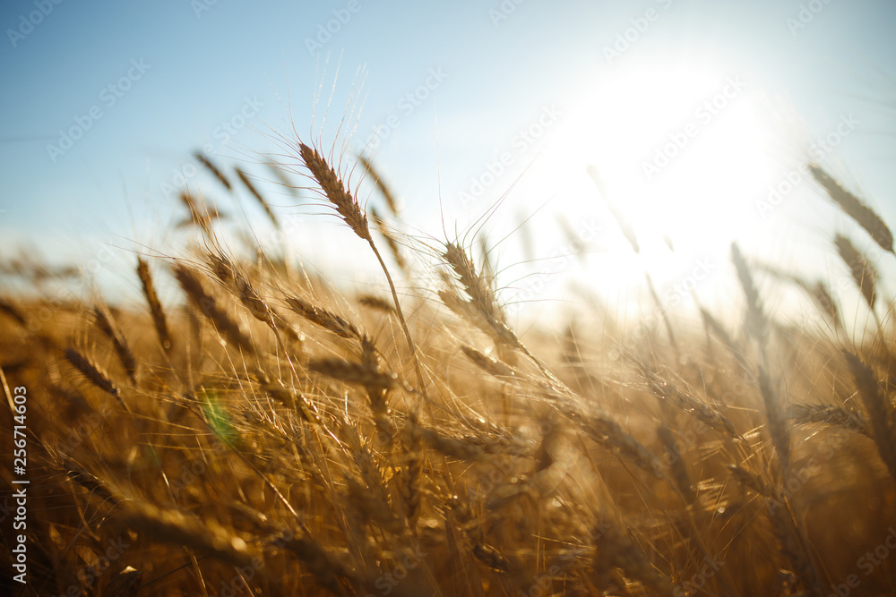 Fototapety, obrazy: Amazing agriculture sunset landscape.Growth nature harvest. Wheat field natural product. Ears of golden wheat close up. Rural scene under sunlight. Summer background of ripening ears of landscape.