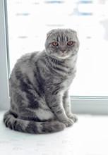 Beautiful Scottish Fold Cat Looking To The Side, Lying On The Windowsill