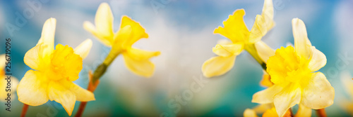 Early Spring Yellow Daffodils, wide image. Narcissus poeticus.