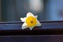Narzissenblüte Auf Einer Parkbank