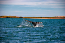 Grey Whales (Eschrichtius Robu...