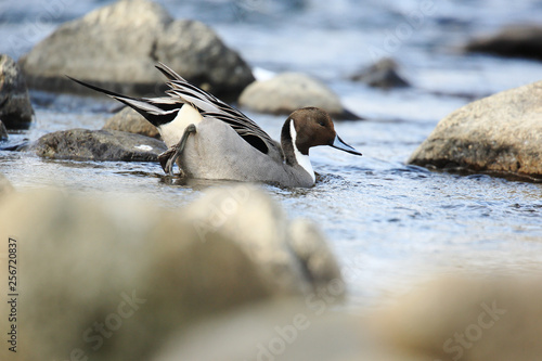 Northern pintail on river Canvas Print