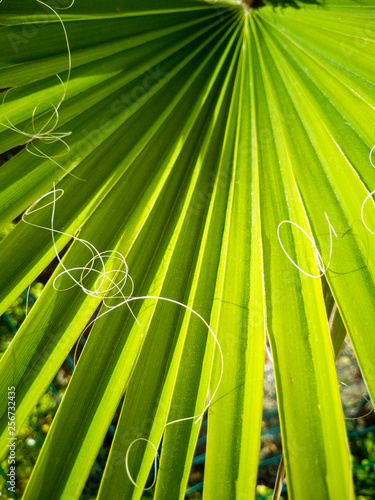 Fotografie, Obraz  Foglia verde di una palma