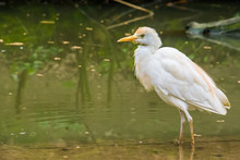 Closeup Of A White Cattle Egret Standing In The Water, Well Spread Bird Across The Globe