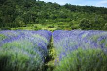 Lavender Field In Summer Near ...