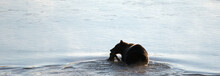 Grizzly Bear With Elk Fawn Carcass In His Mouth Swimming Across Yellowstone River In Yellowstone National Park In Wyoming United States