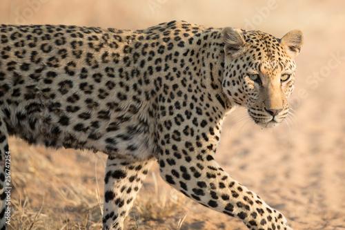Fototapety, obrazy: Leopard stalking