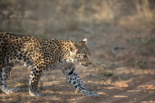 Fototapety, obrazy: Young leopard