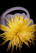 Yellow Spider Mum In A Glass B...