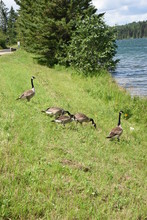 Geese On The Shore