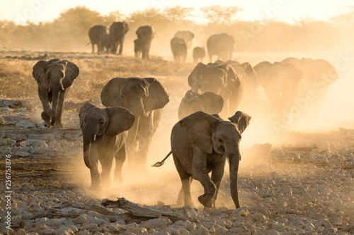 Fototapeta  Elephant herd at dusty water hole
