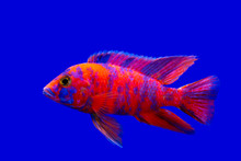 Colorful Of Ornamental Fish, African Cichlids, Malawi Peacock In Fish Tank. Science Name Aulonocara Maylandi Is Endemic To Lake Malawi It Is Cichlidae Family