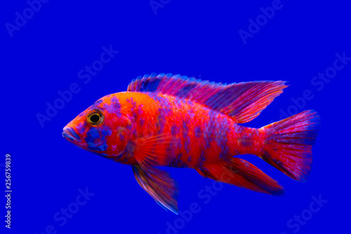 Ingelijste posters Pauw Colorful of ornamental fish, African Cichlids, Malawi Peacock in fish tank. science name Aulonocara maylandi is endemic to Lake Malawi it is Cichlidae family