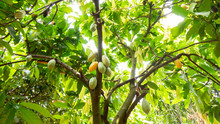 Cocoa Fruit On Tree Agricultur...