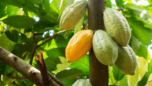 Cocoa Fruit On Tree Agriculture Background