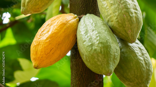 Fotografie, Obraz Cocoa fruit on tree Agriculture background