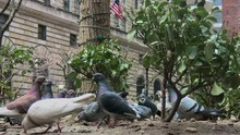 New York Pigeons In Park Take ...
