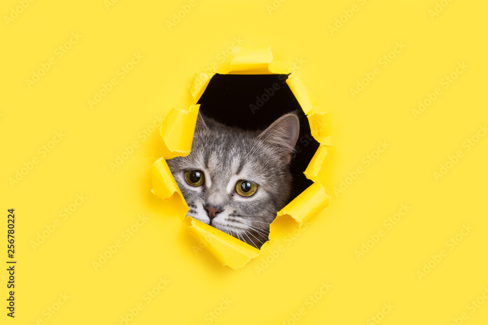 Fototapety, obrazy: The cat is looking through a torn hole in yellow paper. Playful mood kitty. Unusual concept, copy space.