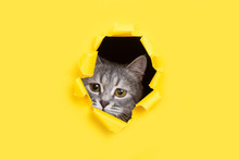 The Cat Is Looking Through A Torn Hole In Yellow Paper. Playful Mood Kitty. Unusual Concept, Copy Space.