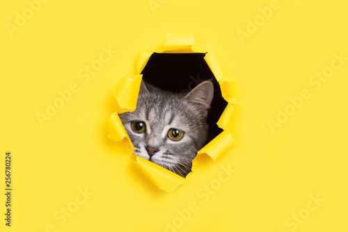 Fotografie, Obraz  The cat is looking through a torn hole in yellow paper
