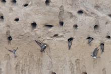 Sand Martins (Riparia Riparia), At Nest Holes, Near Side, Turkey.