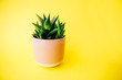 Leinwandbild Motiv Succulent and cactus haworthia in a pink flower pot on a solid color background with copy space. Modern minimalist home decor.