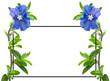 canvas print picture - Cadre Blue Day, bleuet, evolvulus glomeratus, fond blanc