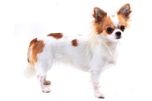 Long Hair Chihuahua Viola Isol...