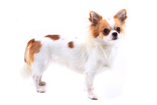 Long Hair Chihuahua Viola Isolated