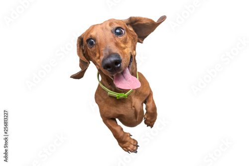 Mad and Happy brown dachshund jumping on camera Fototapete