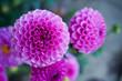 dahlie und andere Blumen Pflanzen Blüte