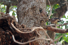 Mynah Bird (Thailand)