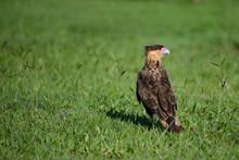 A Bird Of Prey On The Grass. The Southern Crested Caracara (Caracara Plancus) - Brazil.