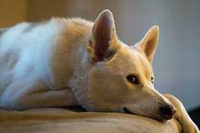 Light Browen Siberian Huskey Resting Glancing At The Camera On The Floor