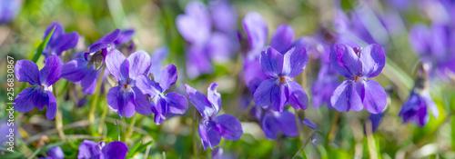 Viola odorata known as wood violet or sweet violet Fototapeta