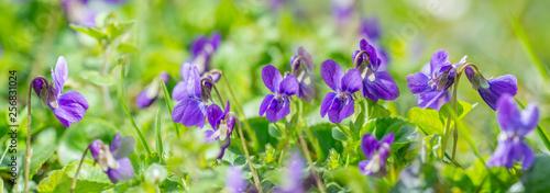 Canvas Print Viola odorata known as wood violet or sweet violet